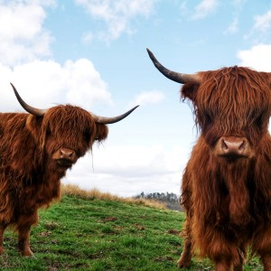 S2 Highland cows